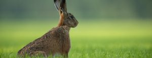 Hare in Perthshire countryside
