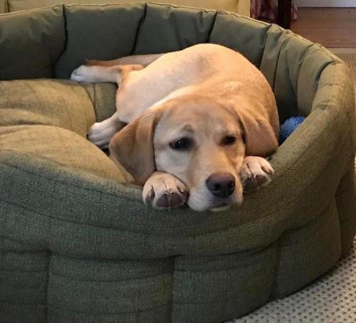 Golden Labrador relaxing in her bed at The Old Manse of Monzie