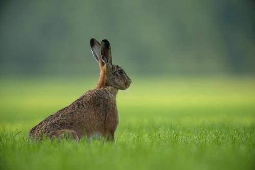 Hare in Scottish field