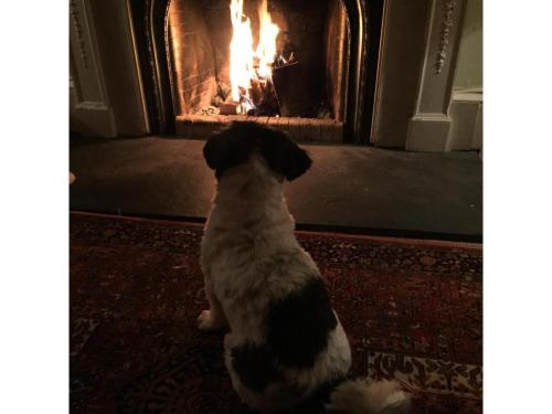 Llaso Apso dog staring at open fire